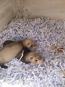 Ferrets young male kits Tarneit Wyndham Area Preview