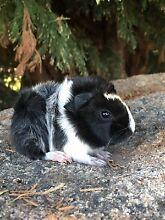 Gorgeous Sheba Mini Yak Guinea Pig (cavy) Swanpool Benalla Area Preview