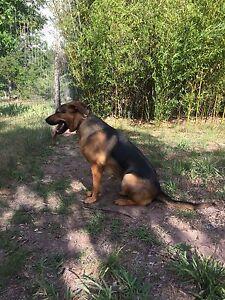German shepherd 1year old $500 each Armidale Armidale City Preview