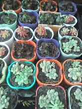 Succulent plants $2 Bidwill Blacktown Area Preview