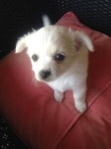 Female puppy for sale Boronia Heights Logan Area Preview