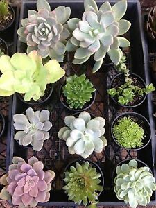 Large Succulents Terrigal Gosford Area Preview