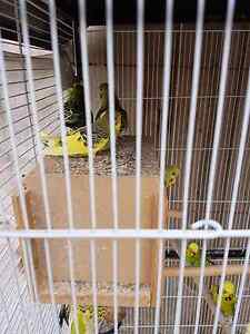 English Budgies for sale Mickleham Hume Area Preview