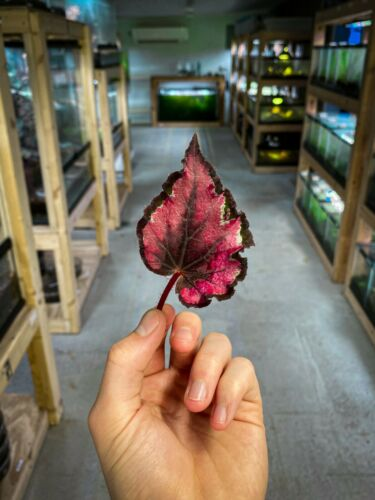 Begonia Red Robin - Dart Frog VIVARIUM / Terrarium Plant - Leaf Cutting