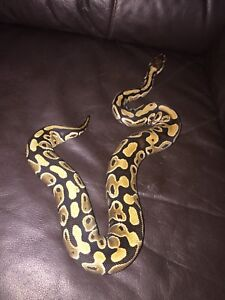 Many ball python morphs for sale