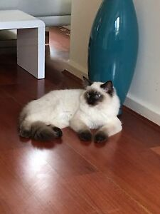 6 month old Male Ragdoll. Kellyville Ridge Blacktown Area Preview