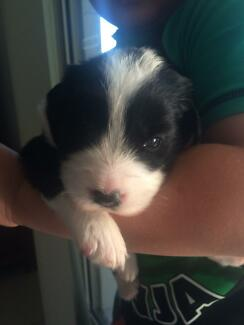 Border collie puppies for sale Redbank Plains Ipswich City Preview