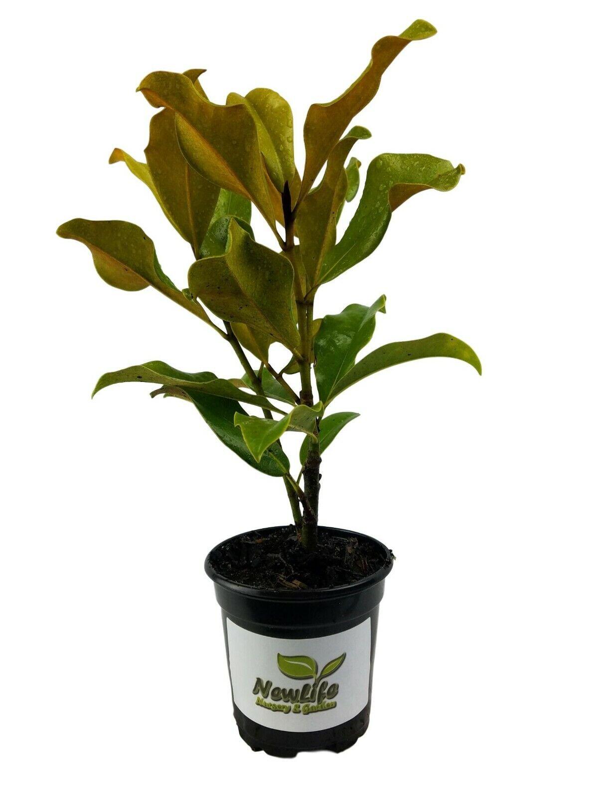 Brackens Brown Beauty Southern Magnolia Tree Live Plant Quart Pot Ebay