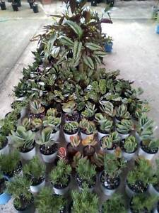 Assorted succulents from