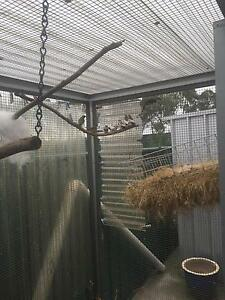 Pied Zebra Finches Eagle Vale Campbelltown Area Preview