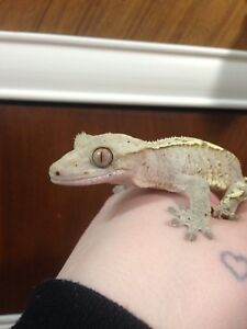 Crested gecko looking for a new home