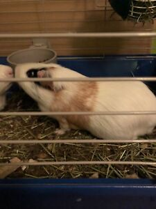2 Adult male guinea pigs