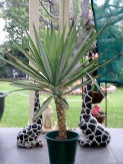 VARIEGATED YUCCA Casula Liverpool Area Preview