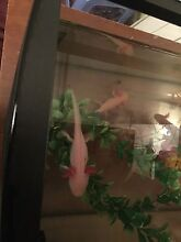 axolotl's pink or yellow 5 months old South Melbourne Port Phillip Preview