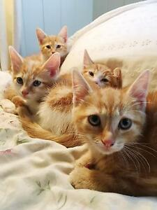 ginger kittens for sale Banyo Brisbane North East Preview