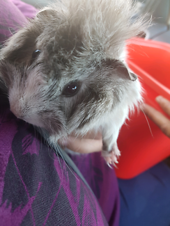 Female guinea pigs  $10