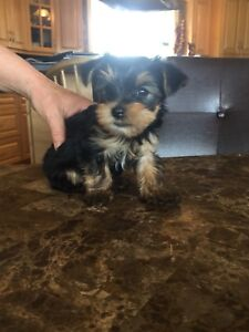 Pure Bread Teacup Yorkies For Sale
