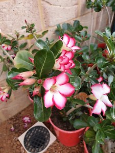Adenium obesum - Desert Rose, 2 for $50.00 PLS TEXT ONLY