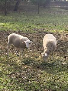 Dorper Lambs for sale Lal Lal Moorabool Area Preview