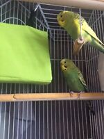 Loving budgie couple