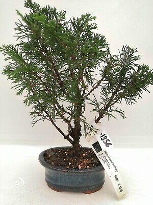 Bonsai di Ginepro itoigawa h. 29 cm Visita il mio negozio!