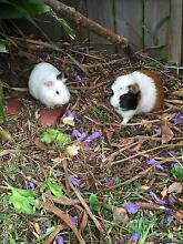 Cute lovely and smart Guinea pigs West Ryde Ryde Area Preview