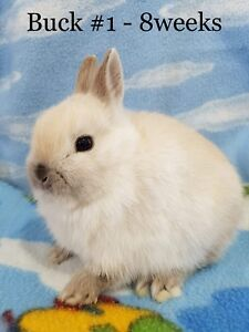 PURE Netherland dwarf bunny rabbit..only 2 left !!