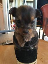 Maltese x silky terrier pups for sale Casino Richmond Valley Preview