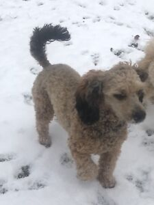 Poodle Puppies (Moyen/Medium) - Accepting Reservations