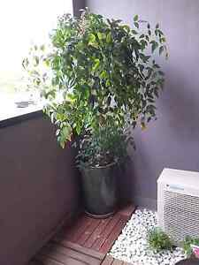 Tall Nandina in beautiful ceramic pot with matching saucer Carlton Melbourne City Preview