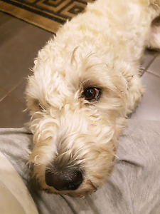 Labradoodle wanted for service Branxholm Dorset Area Preview