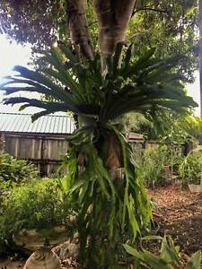 Large 12  year old Staghorn fern for sale - PRICE REDUCED, NEGOTIABLE