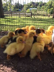 Day old purebred Muscovy ducklings!