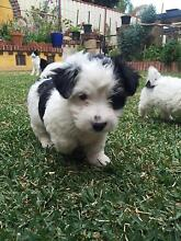 JACK RUSSEL X FOX TERRIOR PUP FOR SALE Cecil Hills Liverpool Area Preview