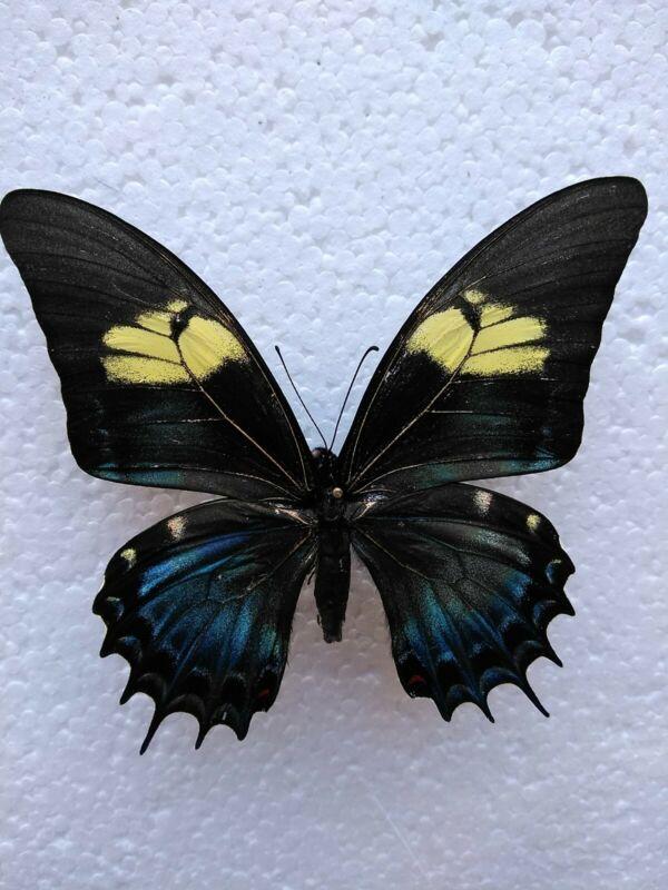 Papilio androgeus FEMALE