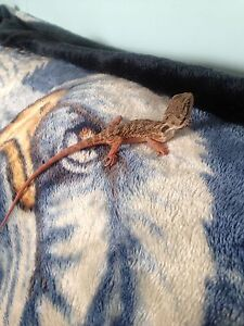 Beautiful!Baby bearded dragon 11 weeks old