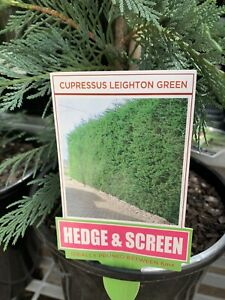 Compressus Leighton Green plants Dickson North Canberra Preview