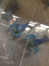 Blue yabbies! Padstow Bankstown Area Preview