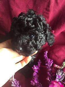 Purebred Toy Poodle black Hepburn Area Preview