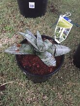 Birds nest snake plant (mother in laws tongue) Bassendean Bassendean Area Preview