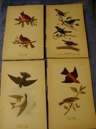 4 lot 1890 Chromolithograph,Color Bird Prints Antique Grosbeak Bunting Swallow
