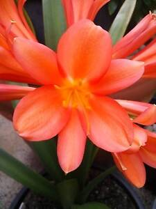 Clivia plant x 1 ― bright orange colour. bare-rooted plant Tullamarine Hume Area Preview