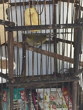 Beautiful Silvereye with cage Bankstown Bankstown Area Preview