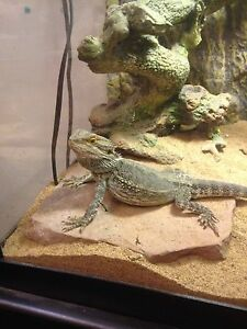 75 g tank w/ stand & dragon. Everything you need London Ontario image 1