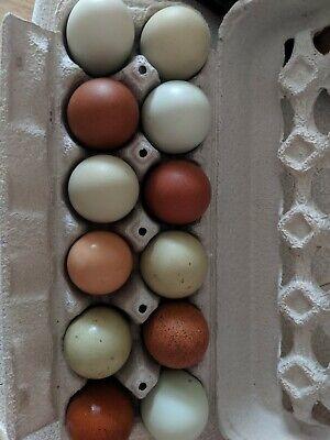12 Fresh Fertile Chicken Hatching Eggs Assorted Barnyard Mix