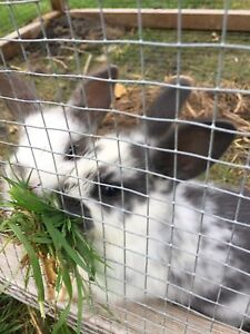 3 Baby Bunnies For Sale !! Kingston Kingborough Area Preview