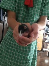 Free male  mouse! Black and white Ryde Ryde Area Preview