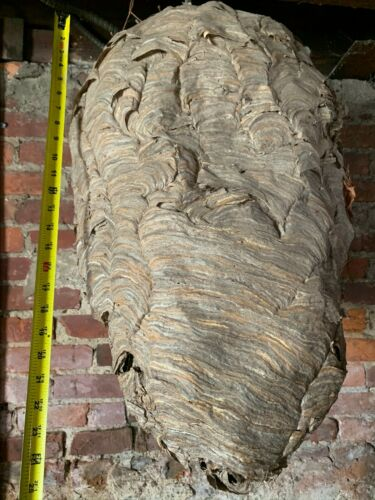 Huge Paper Wasp Hornet Nest Bee Hive For Taxidermy Wasp Bees House on Cable VTG
