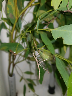 Goliath Stick Insects