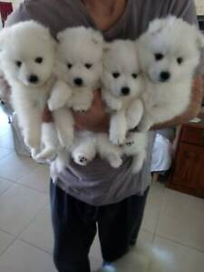 puppies for sale in Geelong Region, VIC | Dogs & Puppies | Gumtree